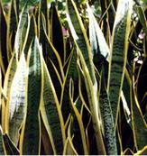 চিত্র:OrnamentalPlants8.jpg