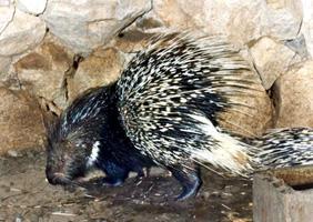 চিত্র:Porcupine.jpg