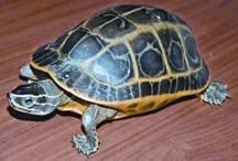TurtleTortoise2.jpg