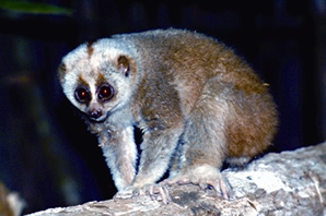 চিত্র:NycticebusBengalensis.jpg