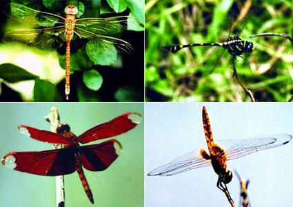চিত্র:Dragonfly.jpg