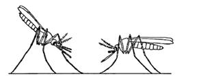 চিত্র:MosquitoAnopheles.jpg