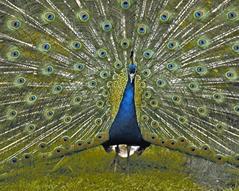 চিত্র:Peacock2.jpg