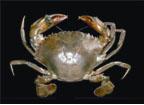 Crab8.jpg