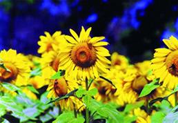 চিত্র:Sunflower.jpg