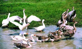 চিত্র:Ducks1.jpg