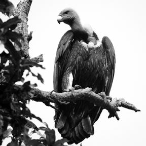 চিত্র:VultureWhite-rumped.jpg