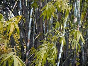 চিত্র:Bamboo.jpg