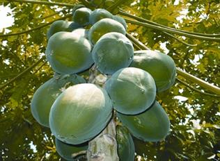 চিত্র:Papaya.jpg