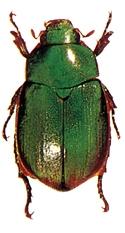 চিত্র:Beetle8Scarabaeid.jpg